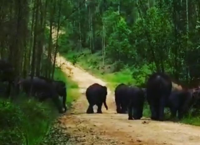 Fenomena Apa? Puluhan Gajah Liar di PALI Mulai Turun ke Jalan